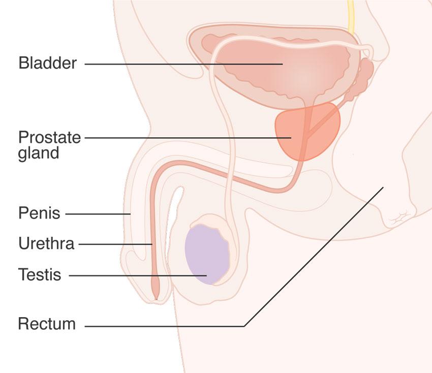 prostate diagram